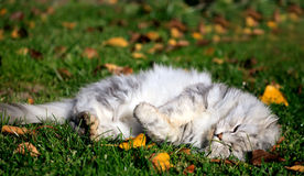 White cat in autumn Royalty Free Stock Photo