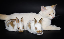 White cat with baby rabbits Stock Photography