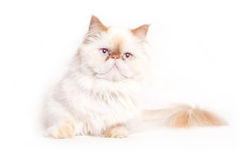 White cat. On a white background Royalty Free Stock Image