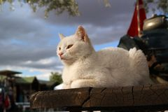 White cat. On a background of dark clouds Stock Photo