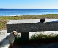 White cat in a beach promenade with a stone bench and a pinecone. Grass and pine needles, blue water. Spain, sunny day. stock photos