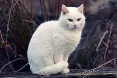 White cat Royalty Free Stock Photo