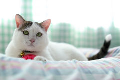White cat. Beautiful white cat sitting on the bed Royalty Free Stock Image