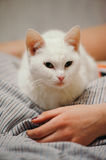 White cat on the bed. Stock Image