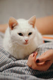 White cat on the bed. Royalty Free Stock Images