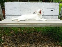 White cat on the bench. The cat is gape on the bench Stock Images