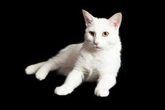 White Cat on Black With Alert Expression Royalty Free Stock Photos