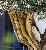 White cat with black ears sitting on an olive tree Royalty Free Stock Photos
