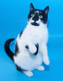 White cat with black spots standing on hind legs Royalty Free Stock Images