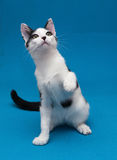White cat with black spots teenager playing on blue background. Holding up front paw Royalty Free Stock Photos