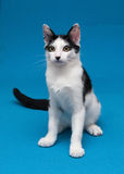 White cat with black spots teenager sitting on blue background. With displeasure Stock Image