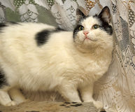 White cat with black spots Royalty Free Stock Image