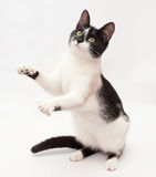 White cat with black spots and yellow eyes dancing, standing on Royalty Free Stock Photos