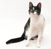 White cat with black spots and yellow eyes sitting, looking slyl Royalty Free Stock Photography