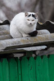 White cat with black tail watching prey from a roof Stock Image