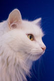 White cat on blue background Stock Images