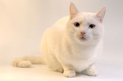 White cat with blue eyes. Big white cat. Photo taken with golden reflector on the left making his fur softly shining Royalty Free Stock Photography