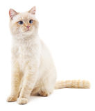 White cat with blue eyes. Stock Images