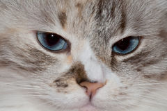 White cat with blue eyes. Royalty Free Stock Image