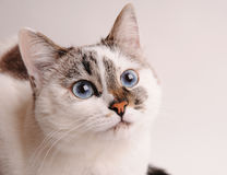 White cat with blue eyes. Close-up Stock Photo