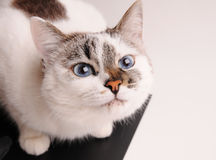 White cat with blue eyes. Close-up Stock Image