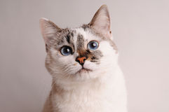 White cat with blue eyes. Close-up Royalty Free Stock Photos