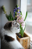 White cat with blue eyes and delicate spring hyacinth flowers in a wooden box on a window sill. Pink, blue color Royalty Free Stock Photos