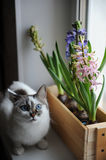 White cat with blue eyes and delicate spring hyacinth flowers in a wooden box on a window sill. Pink, blue color stock image