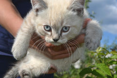 White cat. With blue eyes at the hands of human Stock Image