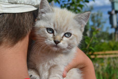 White cat. With blue eyes at the hands of human stock photo