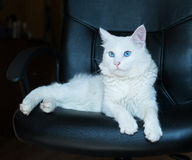 White cat with blue eyes Stock Photography