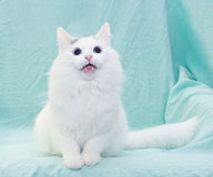 White cat with blue eyes meowing sitting Stock Photo