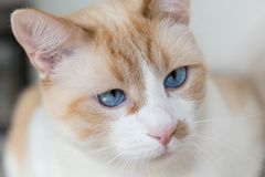 White cat with blue eyes Royalty Free Stock Photos