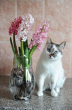 White cat with blue eyes and pink flowers hyacinth in glass vase. Tender pink background. Spring mood. White cat with blue eyes and pink flowers hyacinth in stock photo