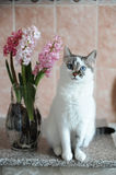White cat with blue eyes and pink flowers hyacinth in glass vase. Tender pink background. Spring mood. White cat with blue eyes and pink flowers hyacinth in royalty free stock images