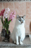 White cat with blue eyes and pink flowers hyacinth in glass vase. Tender pink background. Spring mood. White cat with blue eyes and pink flowers hyacinth in stock photography