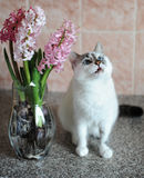 White cat with blue eyes and pink flowers hyacinth in glass vase. Tender pink background. Spring mood. White cat with blue eyes and pink flowers hyacinth in royalty free stock photo