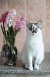 White cat with blue eyes and pink flowers hyacinth in glass vase. Tender pink background. Spring mood. White cat with blue eyes and pink flowers hyacinth in stock photos