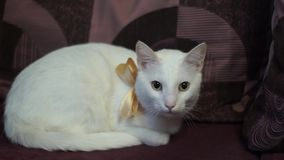White cat with a bow at the neck stock footage