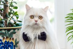 White cat with bow tie. Cute and fluffy White cat with black bow tie arround its neck posing on wedding day royalty free stock photography