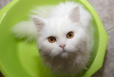 White cat in a bowl; Angora,, cat, fluffy, soft,. White cat in a bowl; Angora, green, eyes, cat Stock Photo