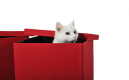White cat in box Stock Image