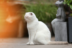 White cat. British Shorthair white cat meowing in the yard Stock Images