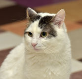 White cat with brown Royalty Free Stock Image