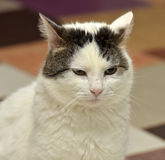 White cat with brown Royalty Free Stock Photos