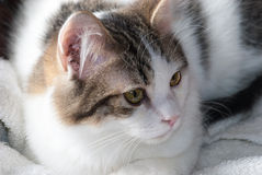 White Cat with Brown Tabby Markings Royalty Free Stock Photos