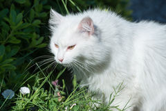 White cat in bushes. White cat with extremely long whiskers,walking in green bushes Stock Image