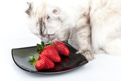 White cat carefully eats red strawberry Royalty Free Stock Photos