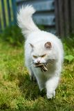 White cat caught birdie, in nature from hunger will not die stock photography
