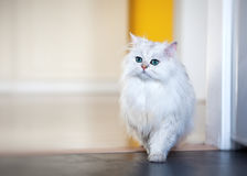 White cat chinchilla on a bright background Royalty Free Stock Image